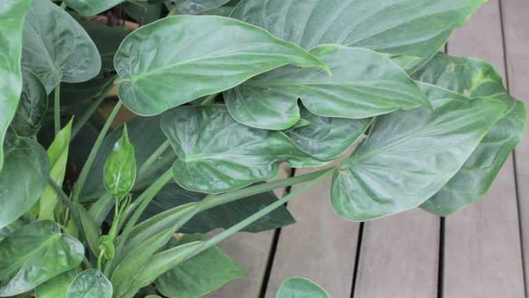 Алоказия клобучковая (Alocasia cucullata)