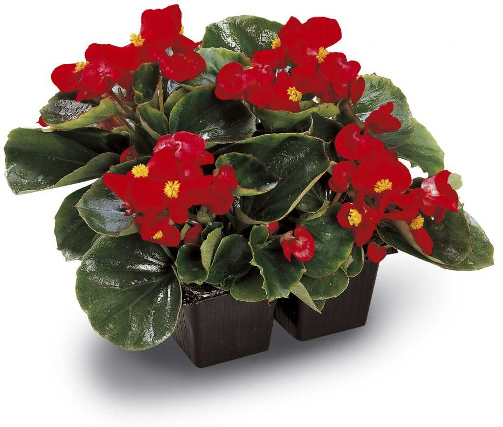 Begonia «Ambassador»