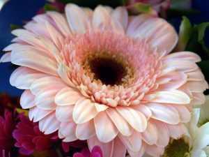 Гербера цветение