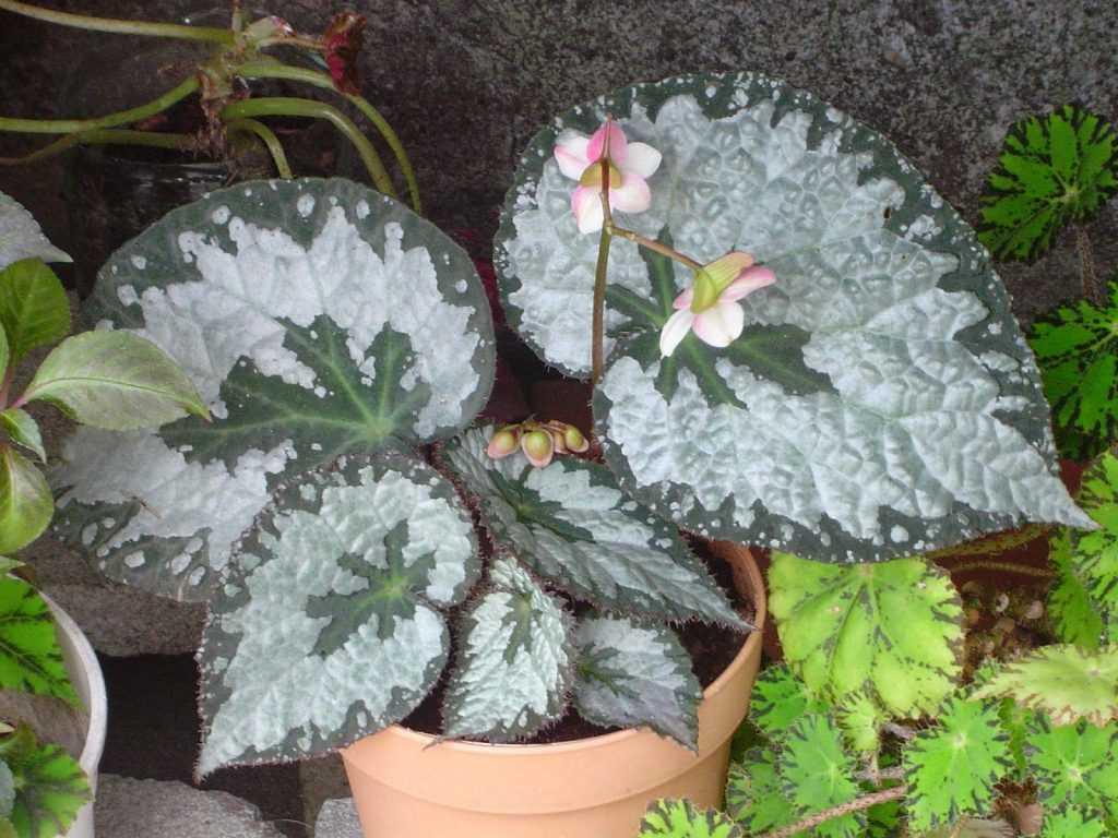 Begonia «Queen»