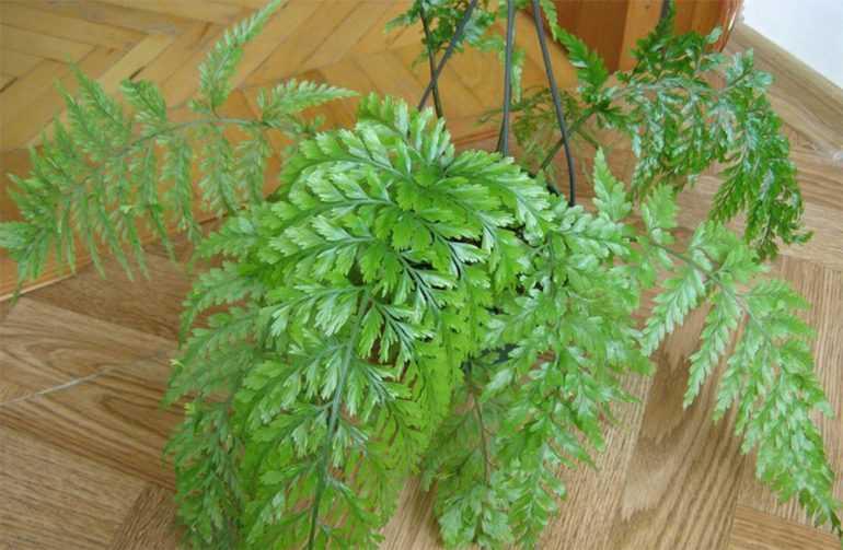 Асплениум живородящий (Asplenium viviparum)