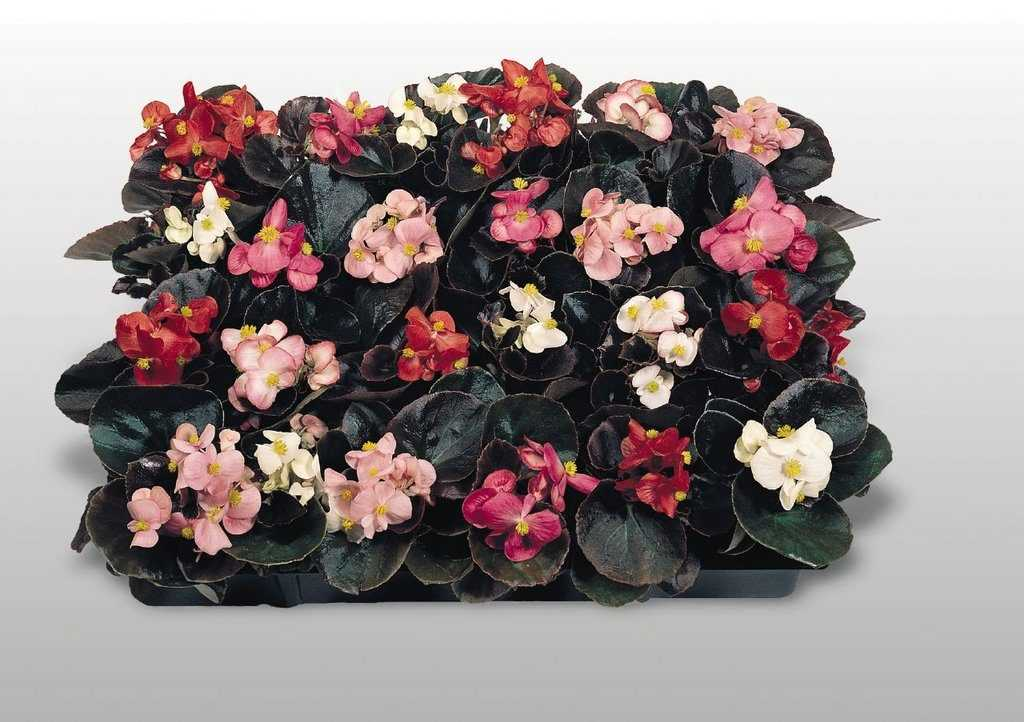 Begonia «Cocktail»