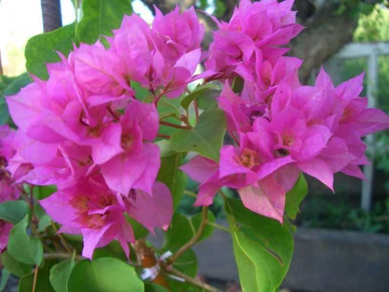 Bougainvillea Double Pink