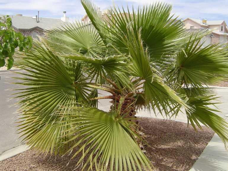 Вашингтония волосистая или нитеносная (Washingtonia filifera)