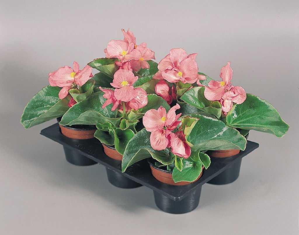 Begonia «Lotto»