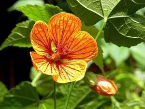 Абутилон цветение