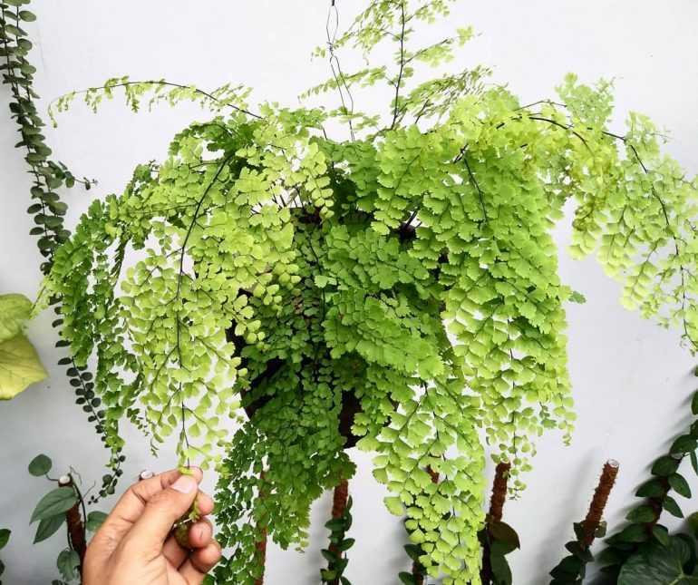 Адиантум Венерин волос (Adiantum cappillus-veneris)