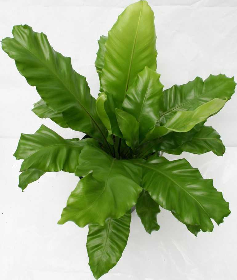 Асплениум гнездный (Asplenium nidus)