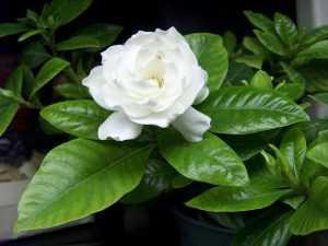 Гардения жасминовидная цветение