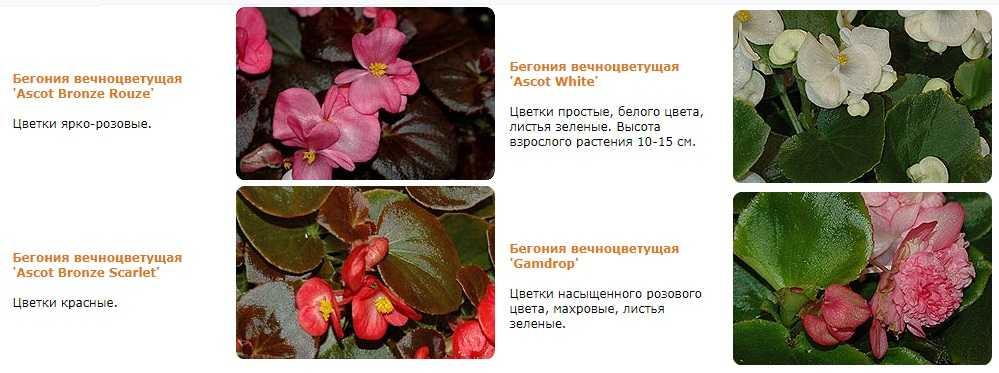 Полезные свойства Бегонии вечноцветущей