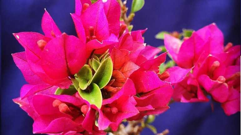 Бугенвиллия: все о посадке и размножении, уходе за цветком в домашних условиях