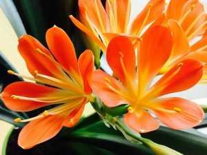 кливия цветение