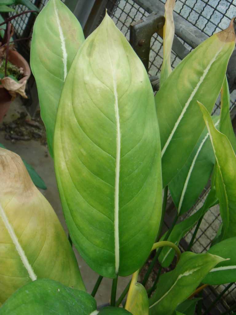 Аглаонема короткопокрывальная / Aglaonema Brevispathum