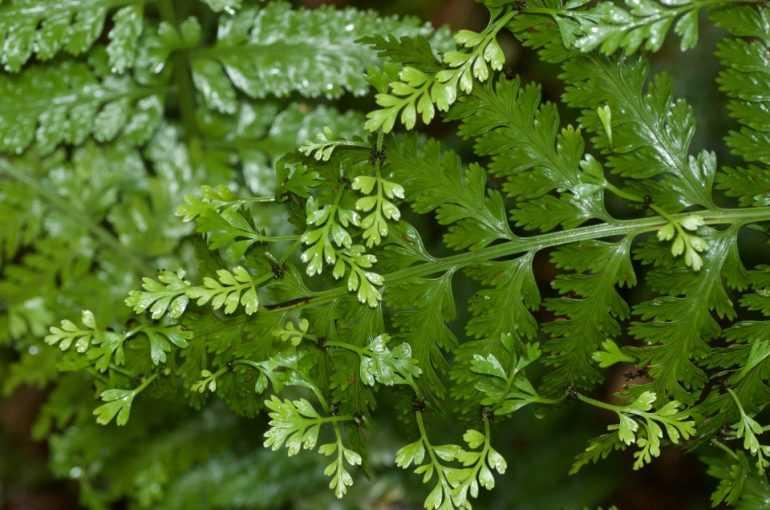 Асплениум луковиценосный (Asplenium bulbiferum)