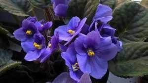 Фиалка цветение