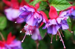 Фуксия цветение