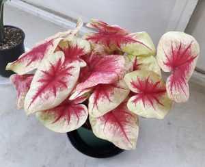 Каладиум цветение