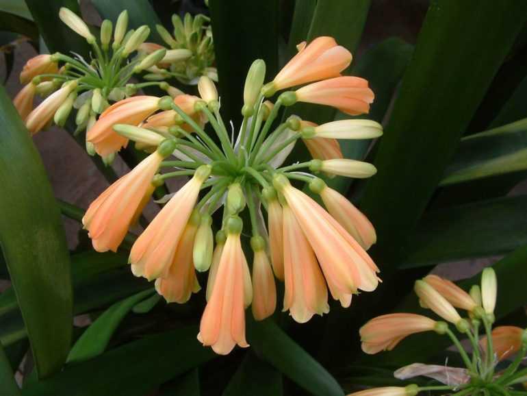 Кливия прекрасная / Clivia nobilis Lindl