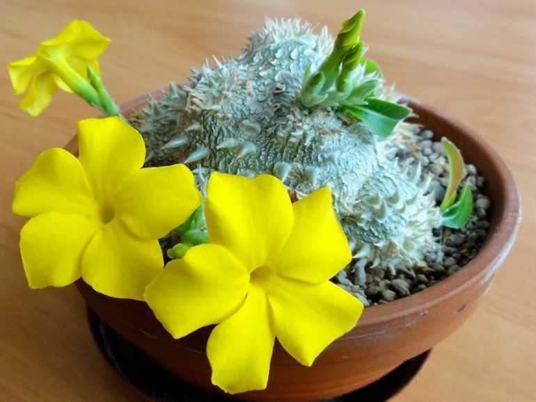 Пахиподиум короткостебельный / Pachypodium brevicaule