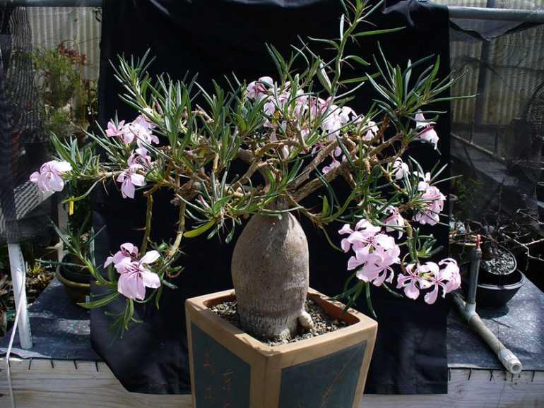 Пахиподиум суккулентный / Pachypodium succulentum