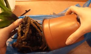 Пафиопедилум пересадка