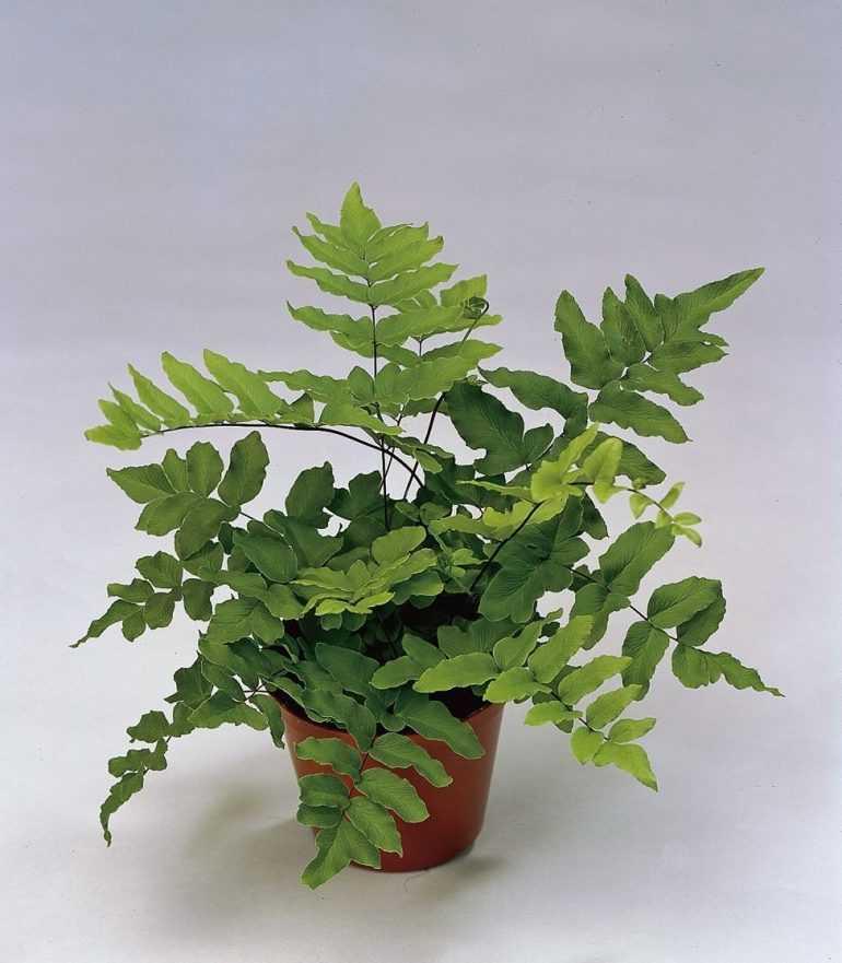 Пеллея зеленая (Pellaea viridis)