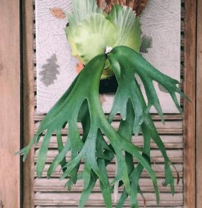Платицериум — уход в домашних условиях