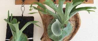 Платицериум - уход в домашних условиях, фото