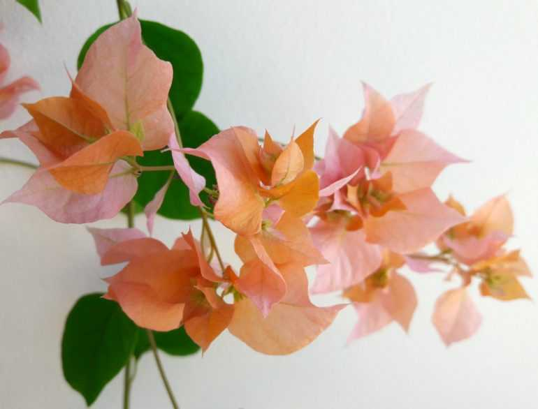 Bougainvillea Thai Gold