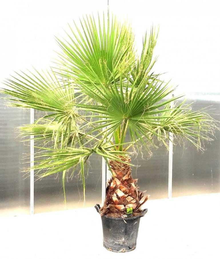 Вашингтония мощная или вашингтония «в детской юбочке» (Washingtonia robusta)