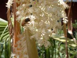 Вашингтония цветение
