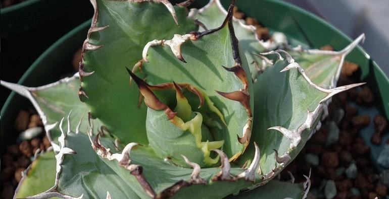 Цветок Агава и его разновидности