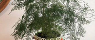 Аспарагус - уход в домашних условиях, фото видов
