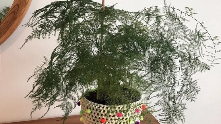 Аспарагус и спаржа - это одно и то же или нет, отличаются ли декоративные сорта от съедобных, можно ли вырастить дома продукт, который можно есть{q}