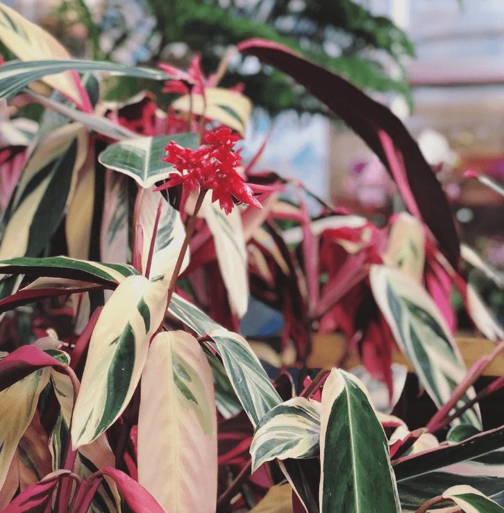 Строманта цветение