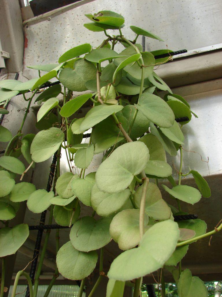 Циссус круглолистный (c. rotundifolia)
