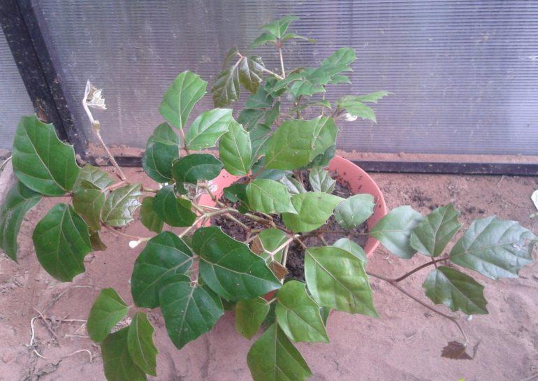 Циссус железистоножковый (c. adenopoda)