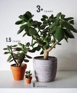 Денежное дерево: приметы и суеверия