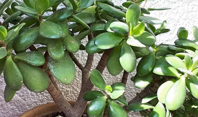 Родина Денежного дерева: где растет растение в дикой природе и окруда родом Толстянка
