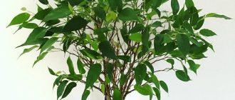 Фикус Бенджамина уход в домашних условиях, фото приметы, можно ли, желтеют листья