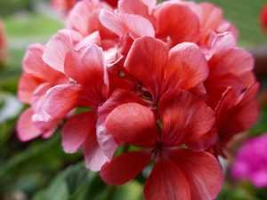 герань цветение