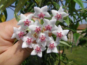 Hóya цветение