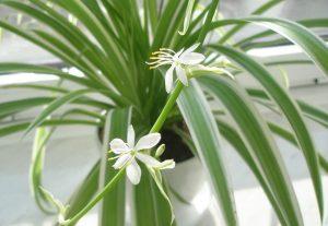 Хлорофитум цветение