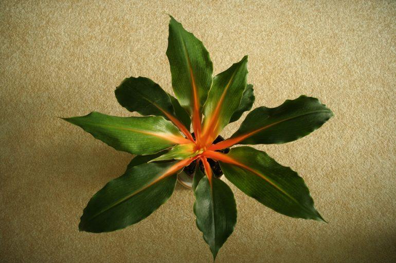 Хлорофитум оранжевый, или орхидозвездный