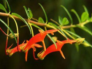 Колумнея цветение