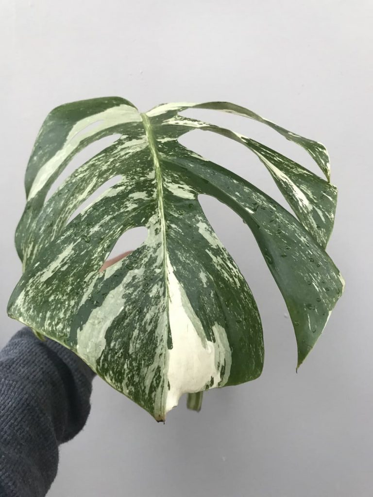 Монстера Борзига (monstera borsigiana)