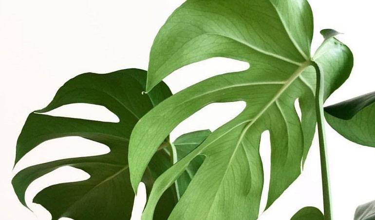 Комнатный цветок с большими резными листьями