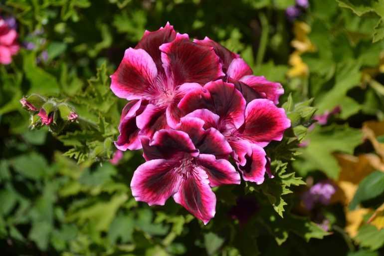 Герань королевская (Pelargonium Regal)