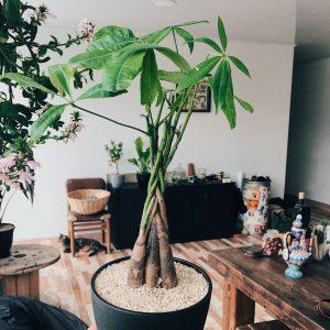 Пахира - уход в домашних условиях
