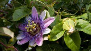 Пассифлора цветение